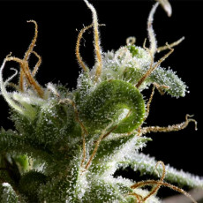 Hawaiian Snow - semínka 5 ks feminizovaná semínka Green House Seeds