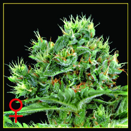 The Doctor - semínka 10 ks (Indoor), feminizovaná semínka Green House Seeds