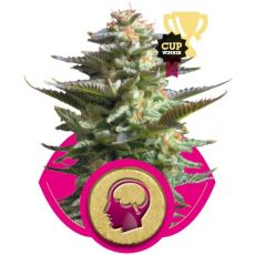 Amnesia Haze - 3 semena feminizované Royal Queen Seeds