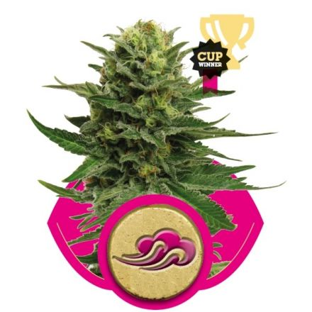Blue Mistic - feminizovaná semínka 10 ks Royal Queen Seeds