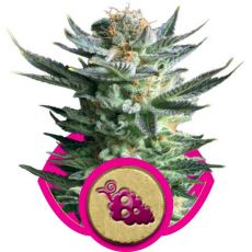 Fruit Spirit 3 ks feminizované semienka Royal Queen Seeds