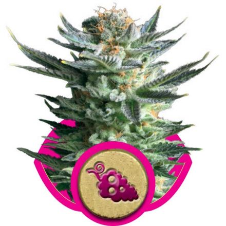 Fruit Spirit - feminizovaná semínka 3 ks Royal Queen Seeds
