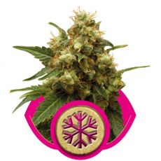 Ice - feminizovaná semínka 10 ks Royal Queen Seeds