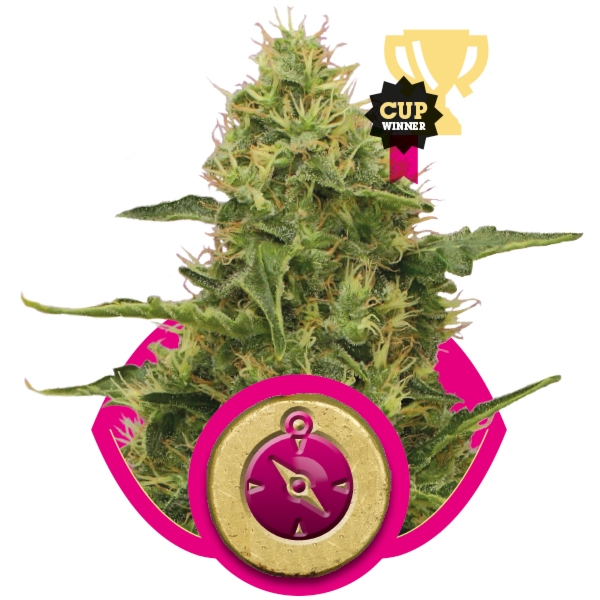 Northern Light 3 ks feminizované semienka Royal Queen Seeds