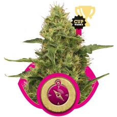 Northern Light - feminizovaná semínka 5 ks Royal Queen Seeds