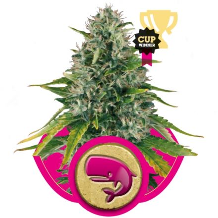 Royal Moby - feminizované semínka 10 ks Royal Queen Seeds