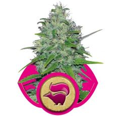 Skunk 1 - feminizované semínka 5 ks Royal Queen Seeds