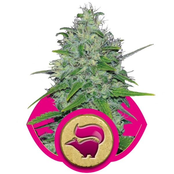 Skunk 1 5 ks feminizované semienka Royal Queen Seeds