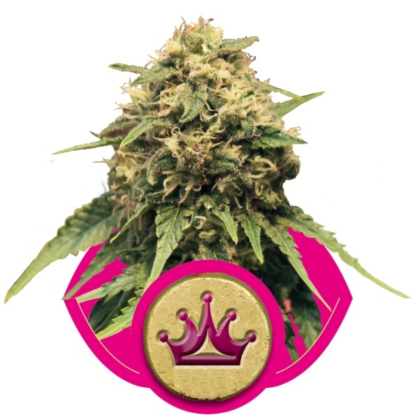 Special Queen n. 1 10 ks feminizované semena Royal Queen Seeds