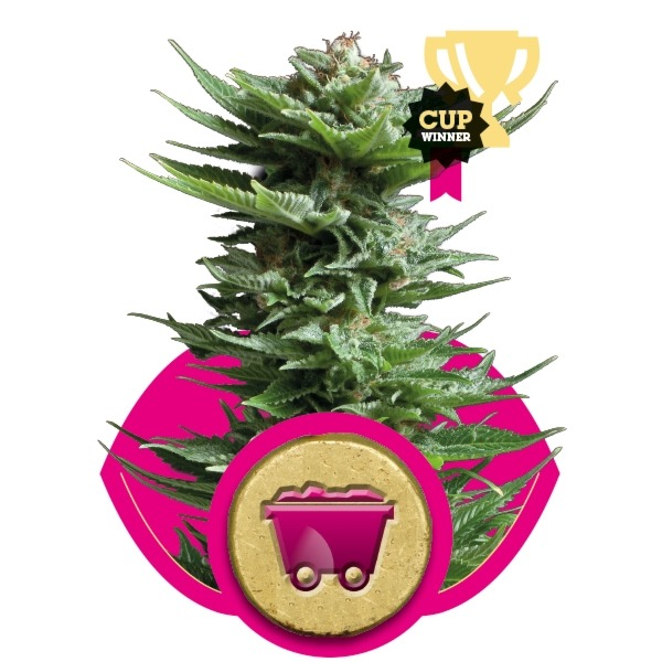 Shining Silver Haze 3 ks feminizované semienka Royal Queen Seeds