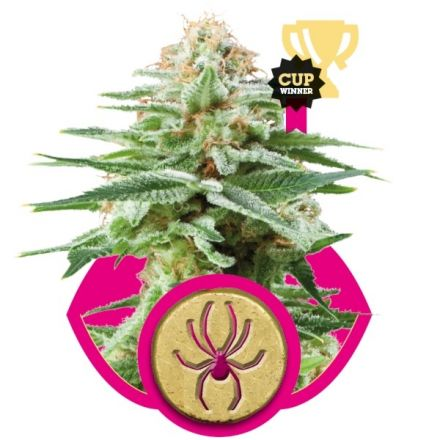 White Widow 3 ks feminizované semienka Royal Queen Seeds