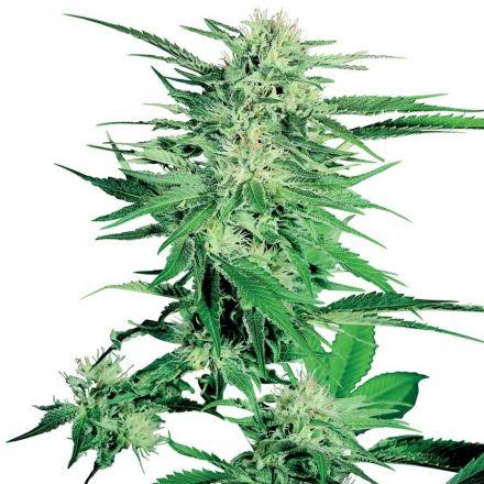 Big Bud - 10 ks feminizovaná semena Sensi Seeds