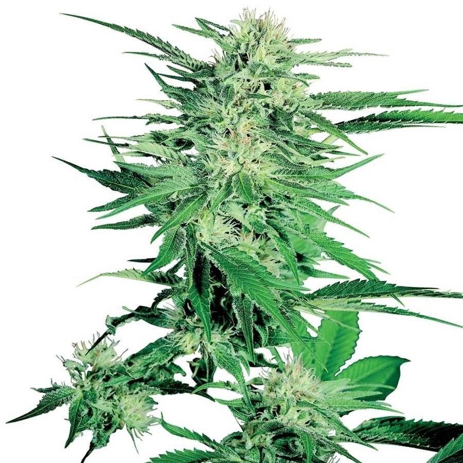 Big Bud - 5 ks feminizovaná semínka Sensi Seeds