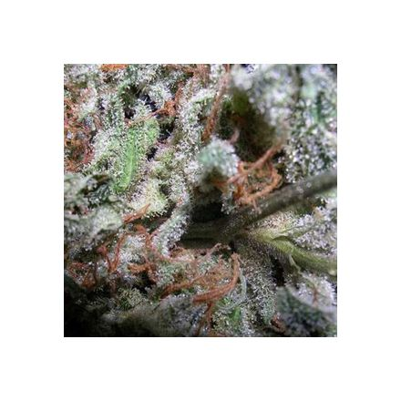 Indica Mix - semínka 6 ks feminizovaná semínka (collection pack) Paradise Seeds