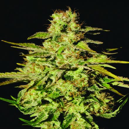 Jacky White 3 ks, feminizované semená Paradise Seeds