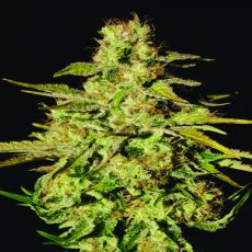 Jacky White - 5 ks feminizovaná semínka Paradise Seeds