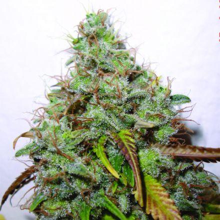 White Berry 3 ks, feminizované semená Paradise Seeds