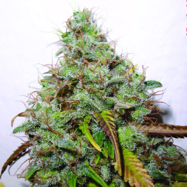 White Berry - 3 ks feminizovaná semínka Paradise Seeds