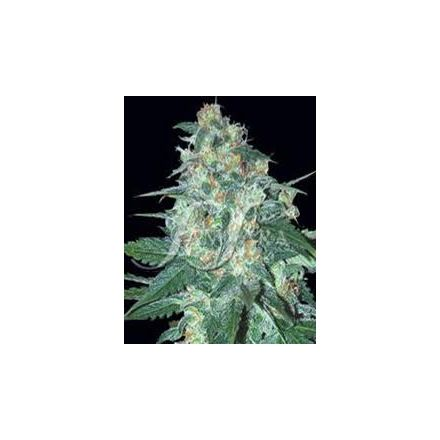 AK47 x Northern Light 10 ks feminizovaných semen Growshop