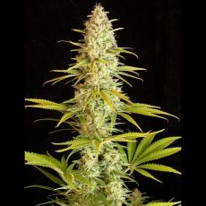 Critical Jack 5 ks feminizované semena Dinafem