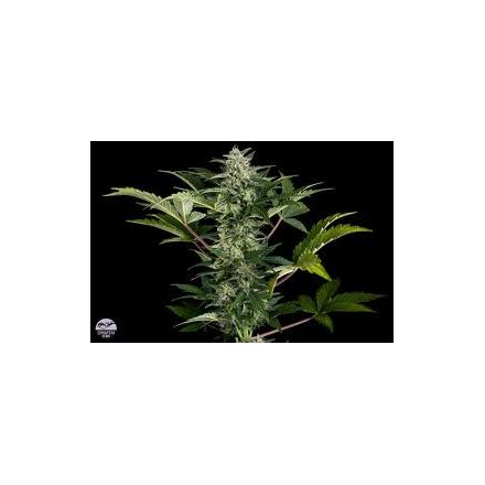 Roadrunner autoflower 2 5 ks feminized semena Dinafem