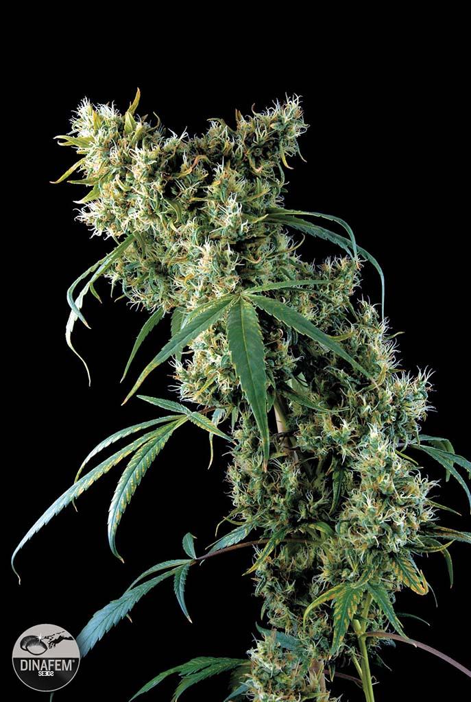 Super Silver Haze 5 ks feminizované semienka Dinafem