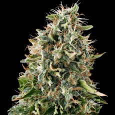 White Siberian 3 ks feminizované semienka Dinafem