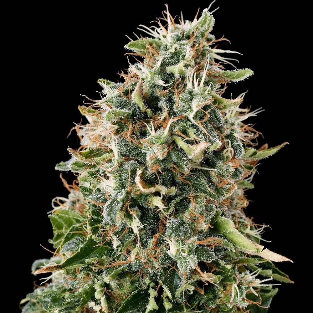 how to grow purple kush autoflower