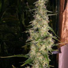 La Nina 18 ks standardizovaná semínka Mr. Nice
