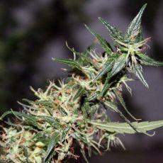 Mango Haze 18 ks standardizovaná semínka Mr. Nice
