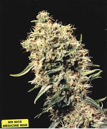 Medicine Man 18 ks standardizovaná semínka Mr. Nice
