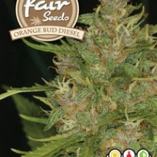Orange Bud Diesel - 5 feminizovaných semen Fair Seeds