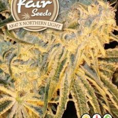 AK47 x Northern Light 10 feminizovaných semen Fair Seeds