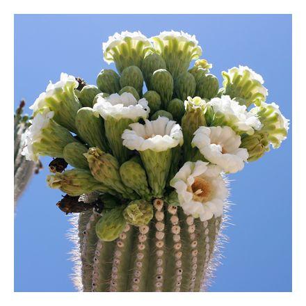Saguaro (rostlina: Carnegiea gigantea) 5 semen