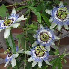 Mučenka modrá (rastlina: Passiflora caerulea) 5 semien
