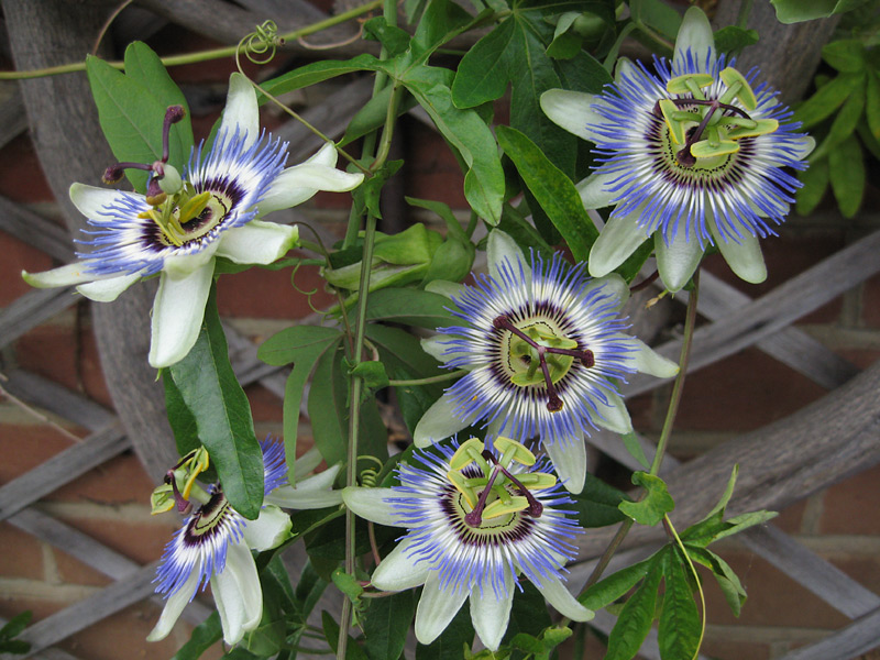 Mučenka modrá (rostlina: Passiflora caerulea) 5 semen