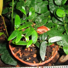 Fíkovník (rostlina: Ficus punctata) semena