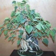 Fíkovník posvátný (rostlina: Ficus religiosa) semena