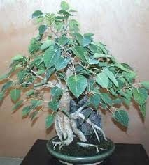 Figovník posvätný (rastlina: Ficus religiosa) semená