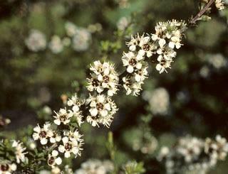 Bílý čajovníkový strom (rostlina: Kunzea ericoides) semena