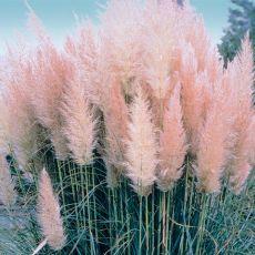 Pampová tráva (rastlina: Cortaderia selloana rosea) semená