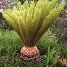 Cykas Japonský (rastlina: Cycas revoluta) 1 semeno