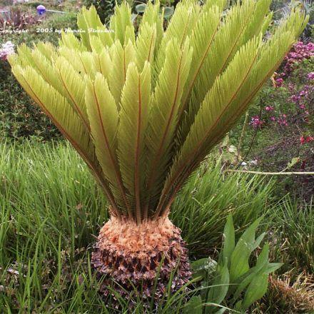 Cykas Japonský (rostlina: Cycas revoluta) 1 semeno