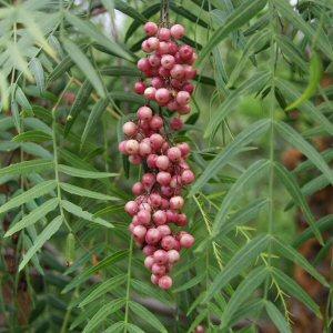 Pepřovec (rastlina: Schinus molle) 6 semien
