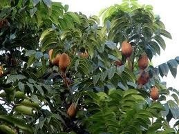 Mahagon (rostlina: Swietenia mahagoni) 3 semena