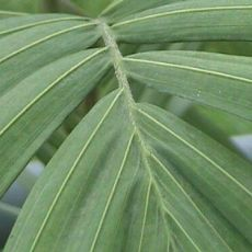 Palma Královská ( rostlina: Archontophoenix cunninghamiana) semena