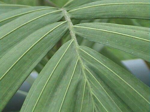 Palma Kráľovská (rastlina: Archontophoenix cunninghamiana) semená