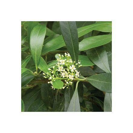 Cesmína parapguayská (rostlina: Ilex paraguariensis) 10 semena