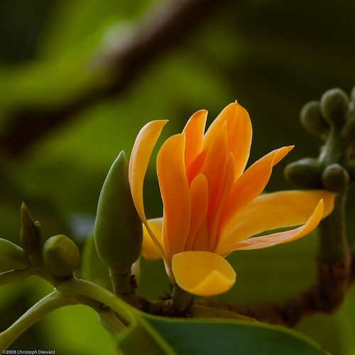 Magnólie champacea (rastlina: Magnolia champaca) semená