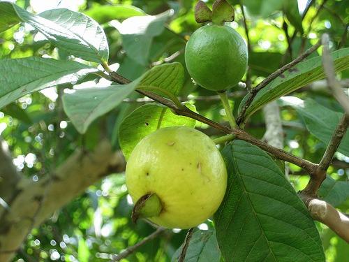 Guajavy (rastlina: Psidium guajava) semená